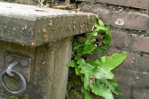 Muurplanten op de havenmuren in Woerden